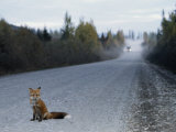 Red Fox on the Cassier Highway Photographic Print by Rich Reid