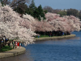 Cherry Blossom Festival on the Tidal Basin Photographic Print by Richard Nowitz