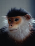 The Douc Langur is an Endangered Species Native to Indo-China Photographic Print by Bates Littlehales