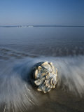 A Conch Shell Washed up on Shore Photographic Print by George Grall