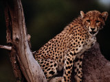 A Young African Cheetah Guards His Territory Photographic Print by Chris Johns