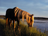A Chincoteague Stallion Grazes on Marsh Grass Photographic Print by Al Petteway