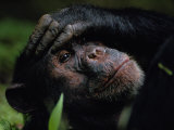 Close-up of a Chimpanzee Holding its Forehead Fotografisk trykk av Michael Nichols