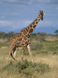 A Reticulated Giraffe on a Samburu Savanna Photographic Print by Roy Toft