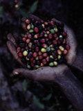 Kaffebønner Fotografisk tryk af Sam Abell