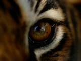 Close-up of the Eye of a Captive Bengal Tiger Photographic Print by Michael Nichols