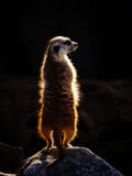 A Captive Meerkat Stands on a Rock in the Afternoon Sun Photographic Print by Tim Laman