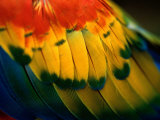 Close View of the Wing of a Colorful Bird Photographic Print by Todd Gipstein