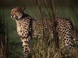 Portrait of an African Cheetah Standing Among Tall Grass Fotografisk tryk af Chris Johns