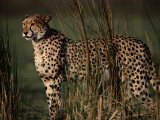 Portrait of an African Cheetah Standing Among Tall Grass Photographic Print by Chris Johns