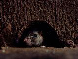 A Rat Peers out from the Sanctuary Wall Photographic Print by James L. Stanfield