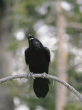 A Common Raven Calls out While Perched on a Branch Reproduction photographique par Tom Murphy