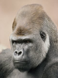 A Portrait of a Western Lowland Gorilla Photographic Print by Jason Edwards