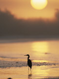 A Little Blue Heron Silhouetted on a Florida Beach at Sunrise Fotografisk tryk af Roy Toft
