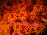 A Close View of Flower-Like Coral Polyps Photographic Print by Wolcott Henry