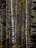 A Stand of Birch Trees Photographic Print by Medford Taylor