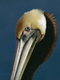 Portrait of a Brown Pelican Photographic Print by Marc Moritsch