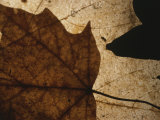 A Close View of a Maple Leaf in Fall Colors Photographic Print by Roy Gumpel