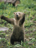 A Grizzly Bear Cub Stands with Arms Outstretched Fotografie-Druck von Tom Murphy