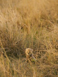 A Cheetah Cub Sits Almost Camouflaged in a Bed of Tall Grass Photographic Print by Jason Edwards