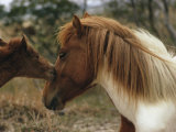 Wild Pony Foal Nuzzling its Mother Photographic Print by James L. Stanfield