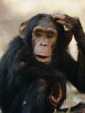 One of the Many Chimpanzees Studied by Jane Goodall at Gombe Stream National Park Photographic Print by Kenneth Love