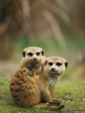 A Pair of Captive Meerkats Keep Close Company Fotoprint van Roy Toft