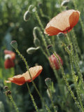 Poppies in a Field in Provence Photographic Print by Nicole Duplaix