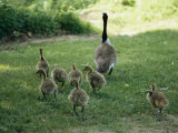 A Canada Goose with its Goslings Photographic Print by Darlyne A. Murawski