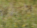 A Young Female Leopard Moving Through Tall Grasses Photographic Print by Michael Melford