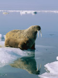 A Mother and Juvenile Atlantic Walrus Approach the Edge of an Ice Floe Photographic Print by Norbert Rosing