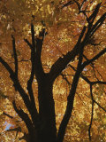 Autumn Color Blazes in a Maple Tree Photographic Print by Roy Gumpel