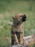 A Wolf Pup Sits up to Howl Fotografisk tryk af Tom Murphy
