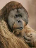 A Portrait of an Orangutan Fotografisk tryk af Jason Edwards