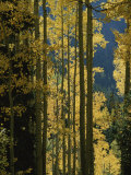 Quaking Aspen Trees Display Brilliant Fall Foliage Near Ouray Photographic Print by Marc Moritsch