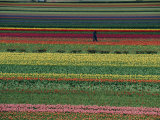 A Man Helps Tend Six Million Tulips at Keukenhof in the Netherlands Stampa fotografica di Brimberg, Sisse
