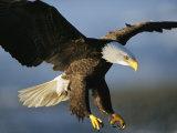 An American Bald Eagle Lunges Toward its Prey Below the Water Fotodruck von Klaus Nigge