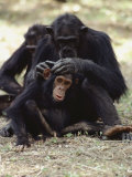 Two Chimpanzees Groom Each Other in Gombe Stream National Park Photographic Print by Kenneth Love