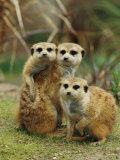 A Trio of Captive Meerkats Keeps an Eye out for Any Danger Photographic Print by Roy Toft