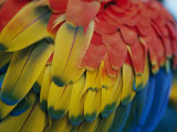 A Close-up View of a Parrots Rainbow Feathers Stampa fotografica di Gipstein, Todd