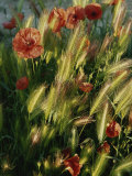 Wildflowers and Grass Tufts in Provence Photographic Print by Nicole Duplaix