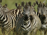 A Herd of Zebras Standing Alert Photographic Print by Michael Melford