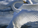 Whooper Swan Stretching its Wings on the Water Stampa fotografica di Tim Laman