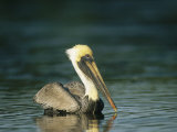 Brown Pelican on Floridas Gulf Coast Photographic Print by Klaus Nigge