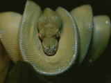 A Close View of an Immature Resting Green Tree Python Photographic Print by Taylor S. Kennedy