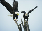 A Pair of American Bald Eagles Perched in an Old Tree Snag Fotografie-Druck von Klaus Nigge