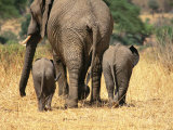 Rear View of Female Elephant Flanked by Two Babies Photographic Print by Mark Cosslett