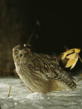 A Portrait of the Rare Blakistons Fish Owl Photographic Print by Tim Laman