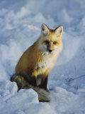 A Red Fox Sits in the Snow Photographic Print by Tom Murphy