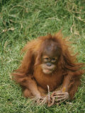 A Captive Juvenile Orangutan Sits in the Grass Photographic Print by Roy Toft